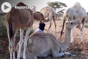 Vidéo. Maures de Mauritanie: à la découverte du lien fusionnel entre nomades et chameaux