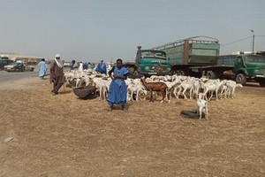 Tabaski : le prix du mouton explose