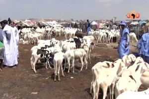 Vidéo. Mauritanie: Tabaski, des moutons pour toutes les bourses