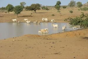 Vol d'une trentaine de vaches à Gogui Zamal