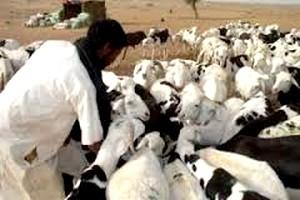 Saint Louis du Sénégal : plus de 18.000 têtes d'ovins en provenance de la Mauritanie