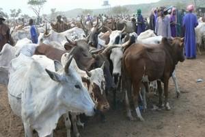 Guidimakha : Les éleveurs dénoncent les irrégularités dans les opérations de distribution de l'aliment-bétail