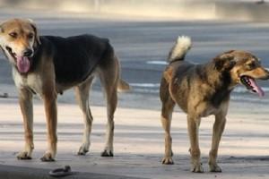 Nouakchott: Les chiens errants menacent les citoyens dans les quartiers
