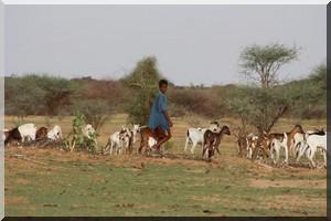 Déficit pluviométrique: Un péril s'annonce en Mauritanie