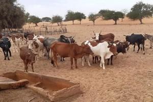 Mauritanie: hausse inquiétante de malades de la fièvre de la vallée du Rift