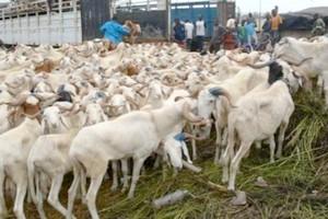 Mauritanie : exportation de 350000 moutons vers le Sénégal pour la Tabaski 2018