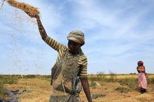 Mauritanie : la forte houle menace la production rizicole