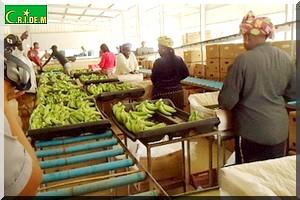 GDM : Un partenaire mauritanien pour satisfaire la demande intérieure en bananes [PhotoReportage]