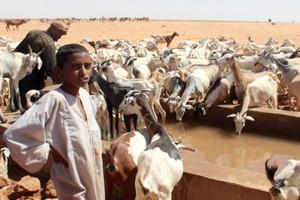 400 tonnes d'aliment de bétail pour les éleveurs du Trarza